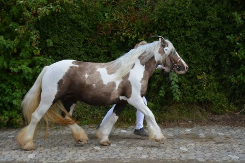 Fin lille palomino hoppe